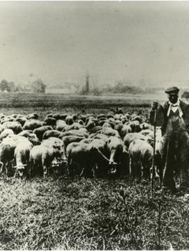 Un berger avec son troupeau de moutons aux environs de La Ferté-sous-Jouarre. Hardy Constant, décédé le 21/12/1921 fut un des derniers bergers de Brie