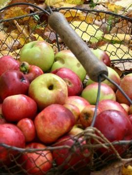 Panier en fil de fer contenant des pommes, posé au sol sur ds feuilles mortes.
