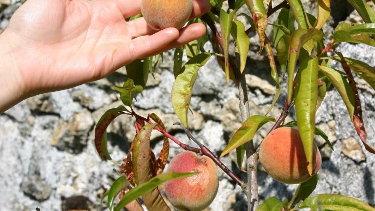 Arbre fruitier dans le jardin du MDSM, jeune pêcher avec des fruits